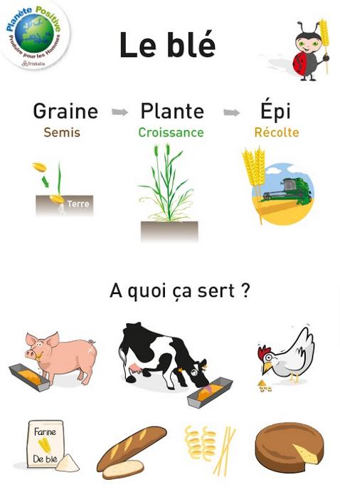 blé farine