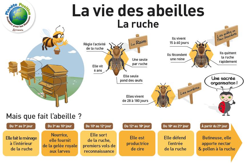 vie de l' abeille ruche
